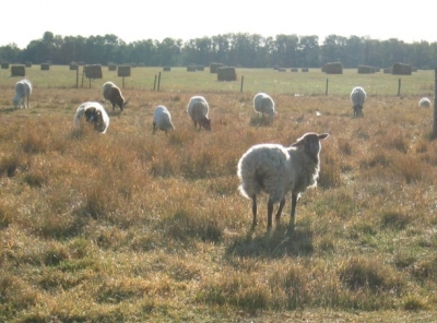 pet sheep in a field
