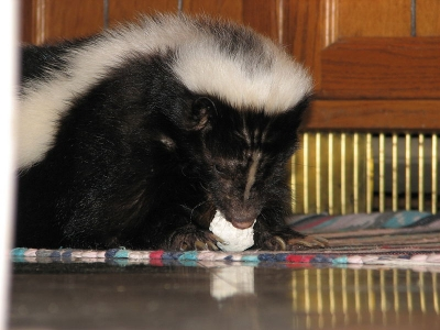 How To Feed And Care For A Pet Skunk Correctly